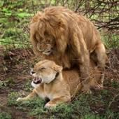lion-fuck