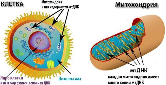 mitohondria